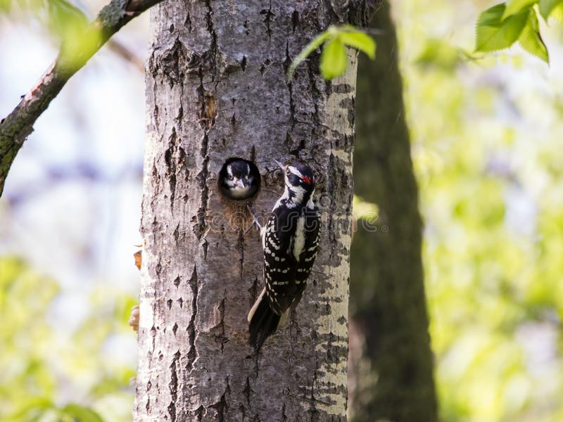 Harige specht die in verticaal profiel wordt gezien die een boomboomstam naast zijn nest, met wijfje klagen die van het gat glure stock afbeeldingen