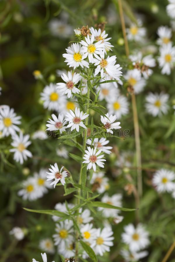 Harige Witte Oldfield-Aster - Symphyotrichum-pilosum royalty-vrije stock foto