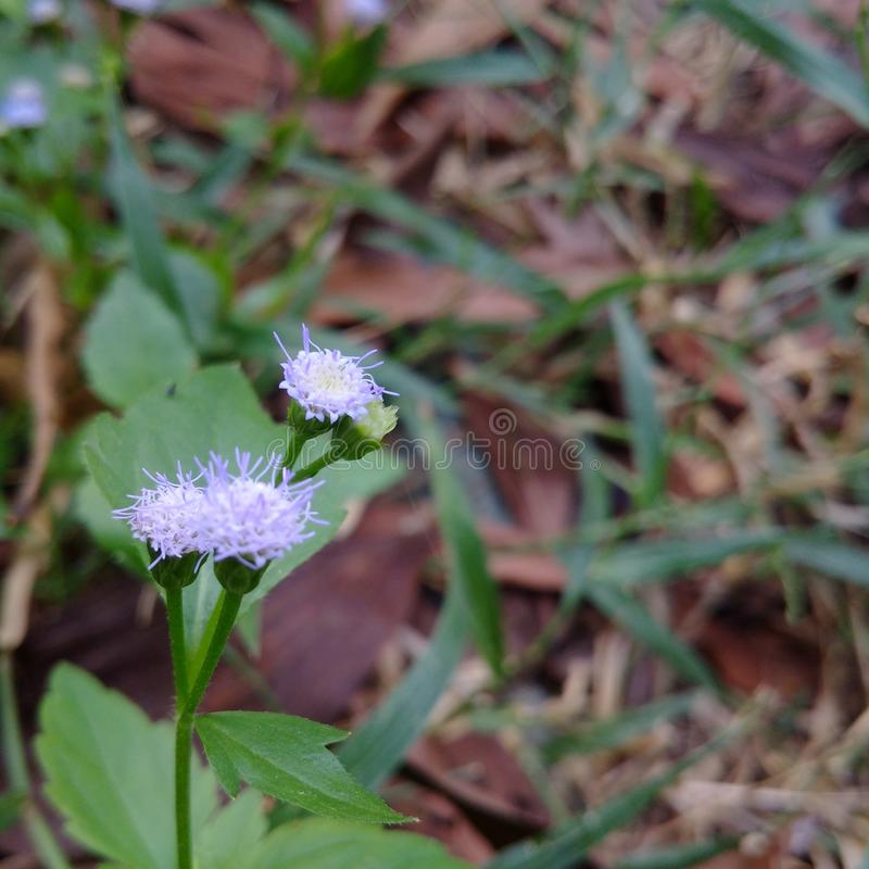 Harina de avena blanca, medicina popular imagen de archivo libre de regalías