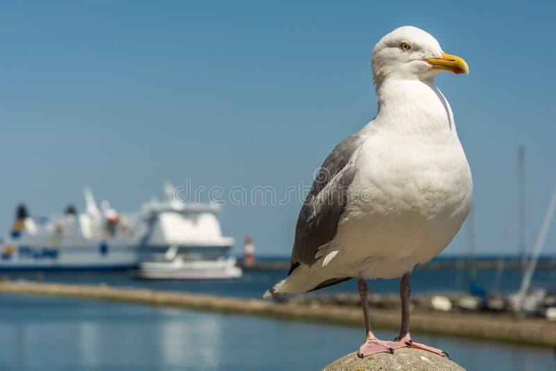 Haringenmeeuw bij de haveningang in Warnemà ¼ nde royalty-vrije stock fotografie
