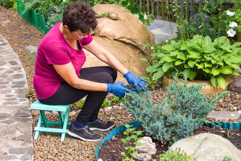 Harken der Herbstblätter Positive ältere Frau, die Koniferenanlage unter Verwendung der Scheren einer Hecke auf ihrem Hinterhof s lizenzfreie stockfotografie