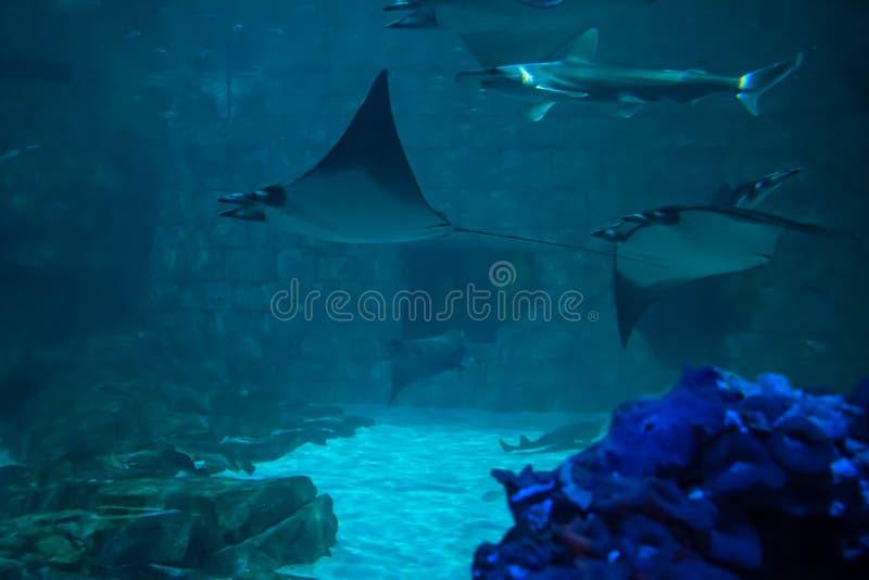 Harks och mantastrålar i akvarium på Seaworld 40 arkivfoton