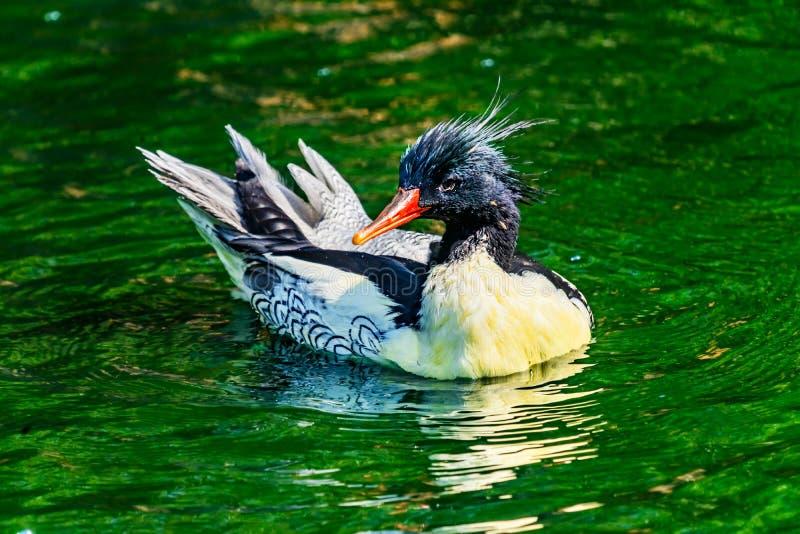 Harle chinois dégrossi écallieux Duck Male Seattle Washinton de harle photographie stock