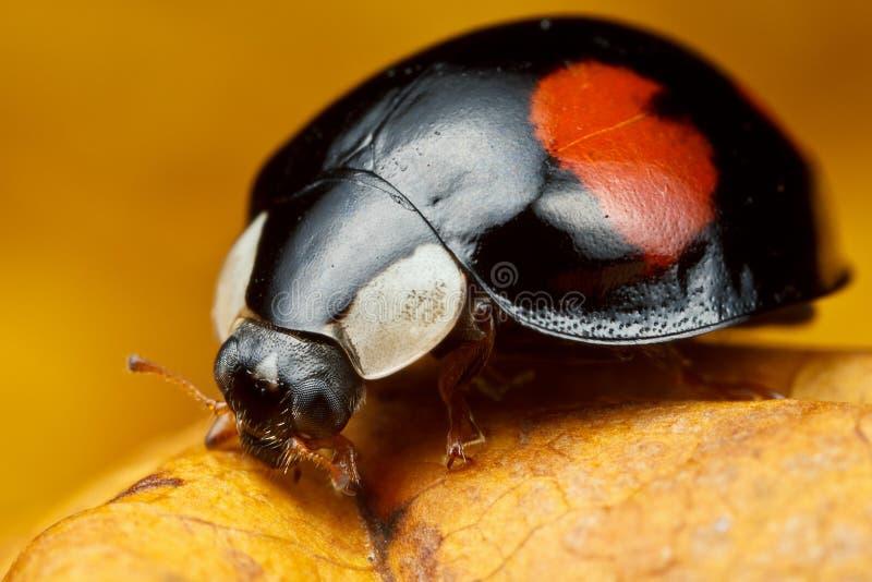 Harlekijnonzelieveheersbeestje stock afbeelding