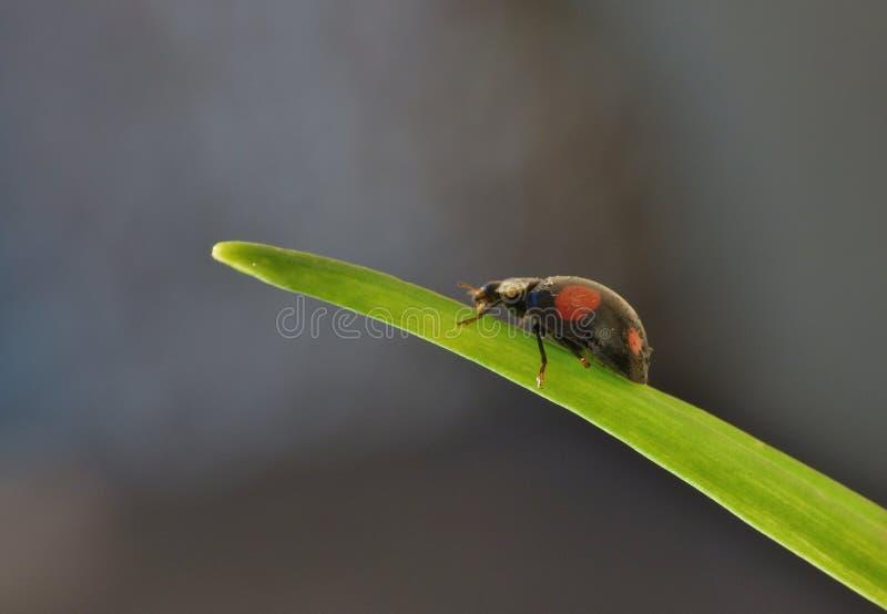 Harlekijnonzelieveheersbeestje Het Caped-het Invallerlieveheersbeestje/Onzelieveheersbeestje - Beeld stock foto's