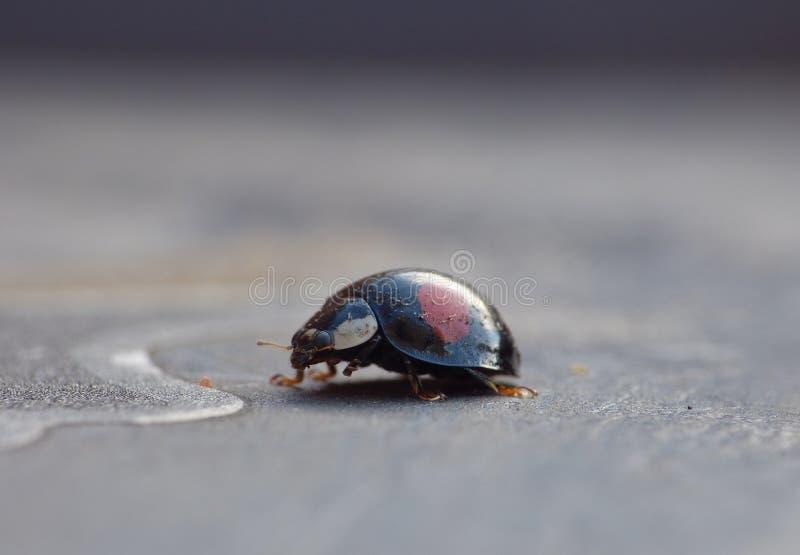 Harlekijnonzelieveheersbeestje Het Caped-het Invallerlieveheersbeestje/Onzelieveheersbeestje - Beeld royalty-vrije stock afbeelding