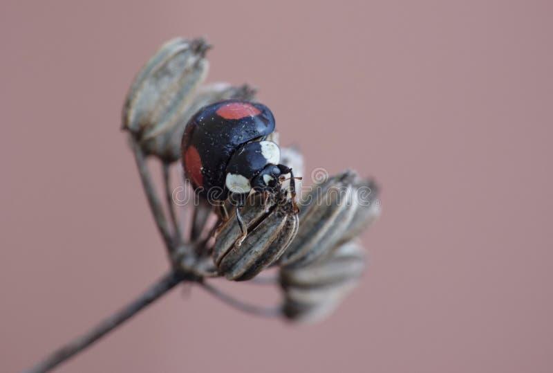 Harlekijnonzelieveheersbeestje Wilde venkel Het Caped-het Invallerlieveheersbeestje/Onzelieveheersbeestje - Beeld stock fotografie