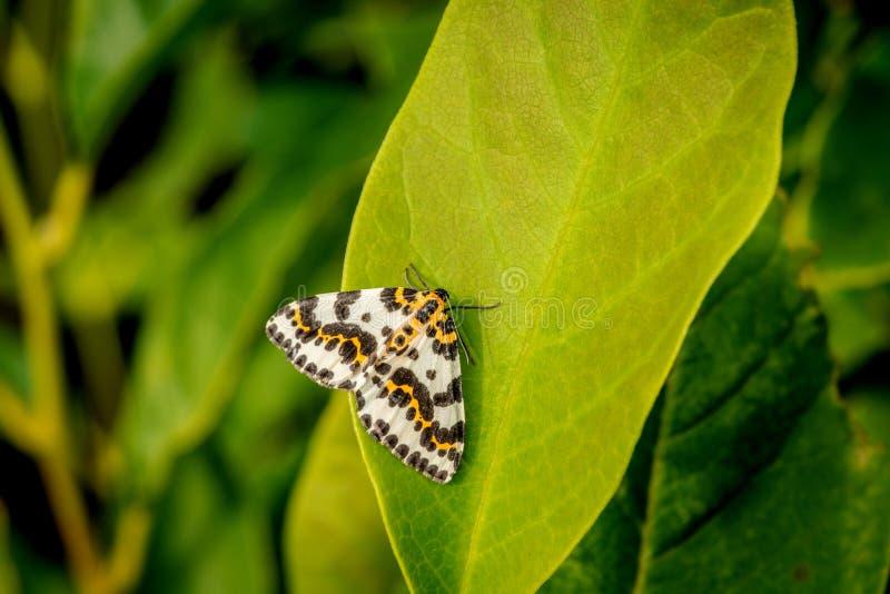 Harlekin fjäril på ett stort grönt blad arkivbild