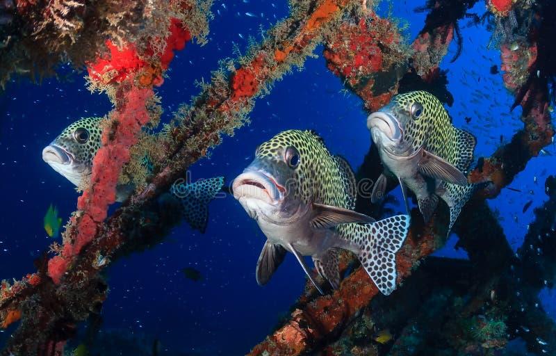Harlekin Sweetlips och tropisk fisk på en skeppsbrott fotografering för bildbyråer