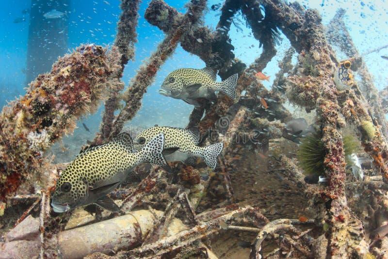 Harlekin Sweetlips und tropische Fische auf einem Schiffbruch lizenzfreies stockbild