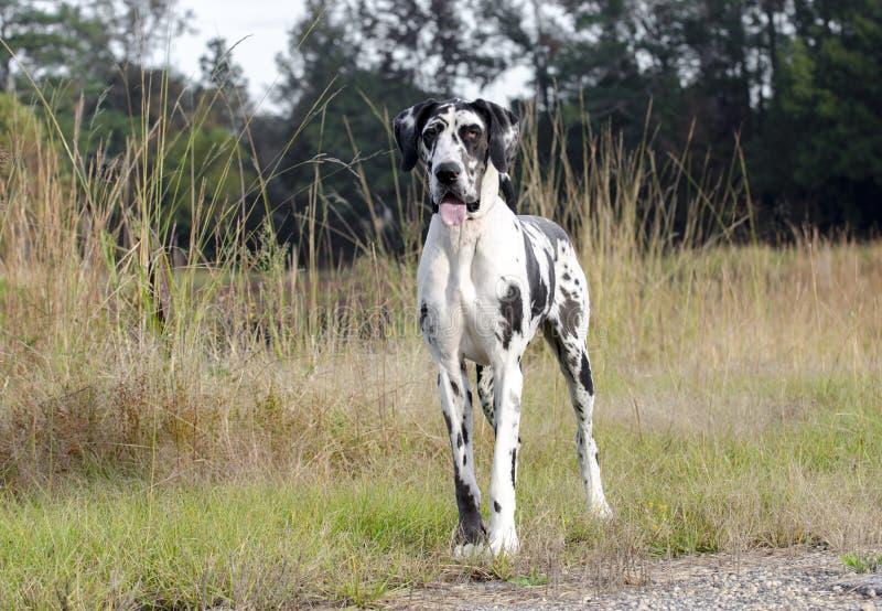 HarlekinGreat dane hund royaltyfri bild