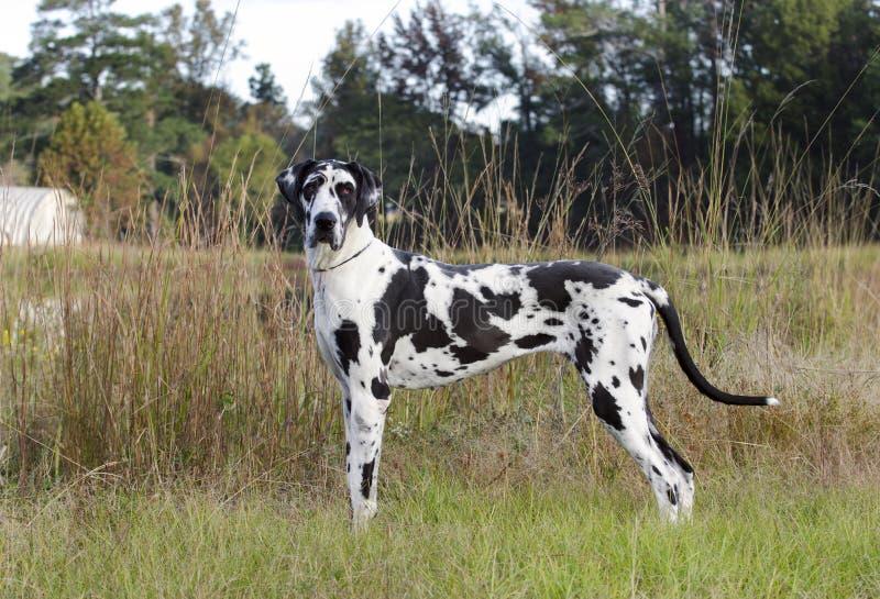 HarlekinGreat dane hund fotografering för bildbyråer
