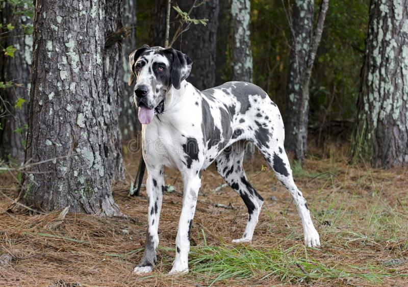 HarlekinGreat dane hund royaltyfri foto