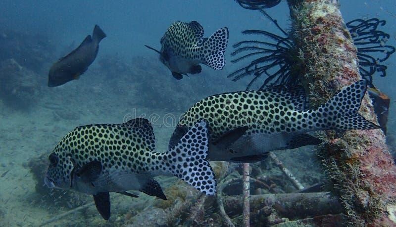 HarlekinSweetlips fisk royaltyfria bilder