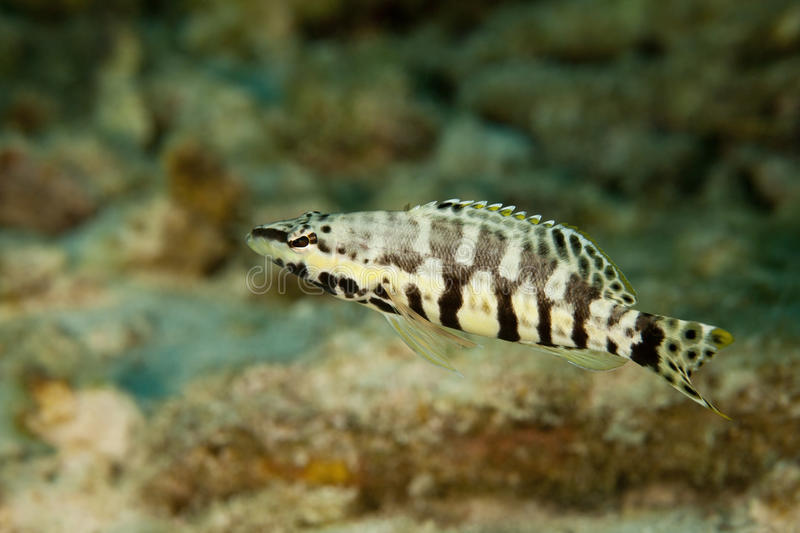 Harlequin Bass (Serranus tigrinus). On a tropical coral reef in Bonaire, Netherlands Antilles royalty free stock images