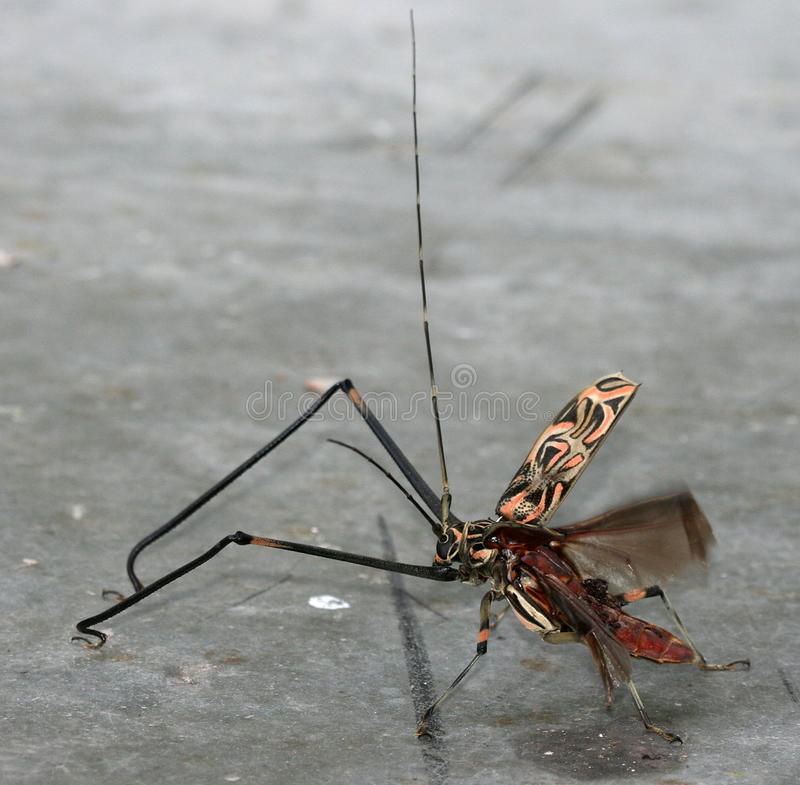 harlequin de coléoptère photo libre de droits