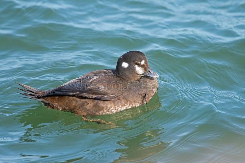 Harlequin Duck Stock Photos