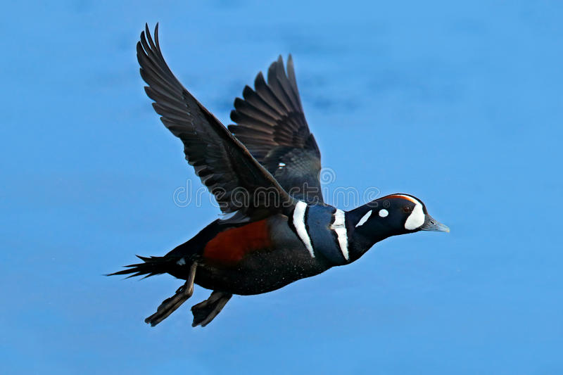 Harlequin duck, Histrionicus histrionicus, bird in fly. Beautiful sea birds flying above the dark blue sea water, Hokkaido, Japan. Harlequin duck, Histrionicus stock image