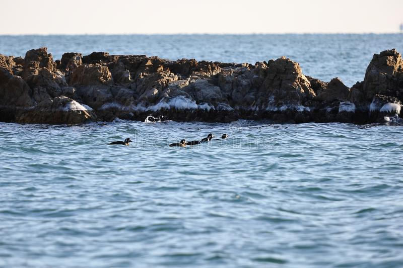 Harlequin ducks Histrionicus histrionicus flock swimming in icy cold sea water on rocky reef background. Group of wild diving du stock photo