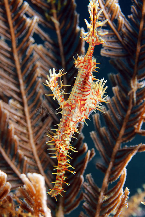 Harlequin Ghost Pipefish royalty free stock images