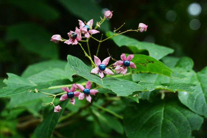 Harlequin glory bower. Has a bad smell on the leaves, flowers and fruits are beautiful, young leaves are ingredients and fruits are raw materials for plant stock image