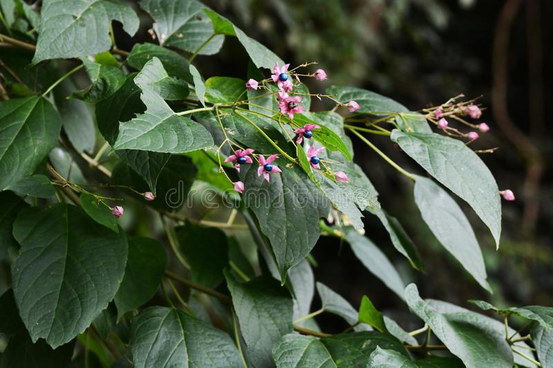 Harlequin glory bower. Has a bad smell on the leaves, flowers and fruits are beautiful, young leaves are ingredients and fruits are raw materials for plant stock images