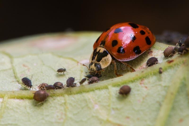 Harlequin ladybird & x28;Harmonia axyridis& x29; adult eating aphid. Predatory beetle in family Coccinellidae feeding on blackfly stock images