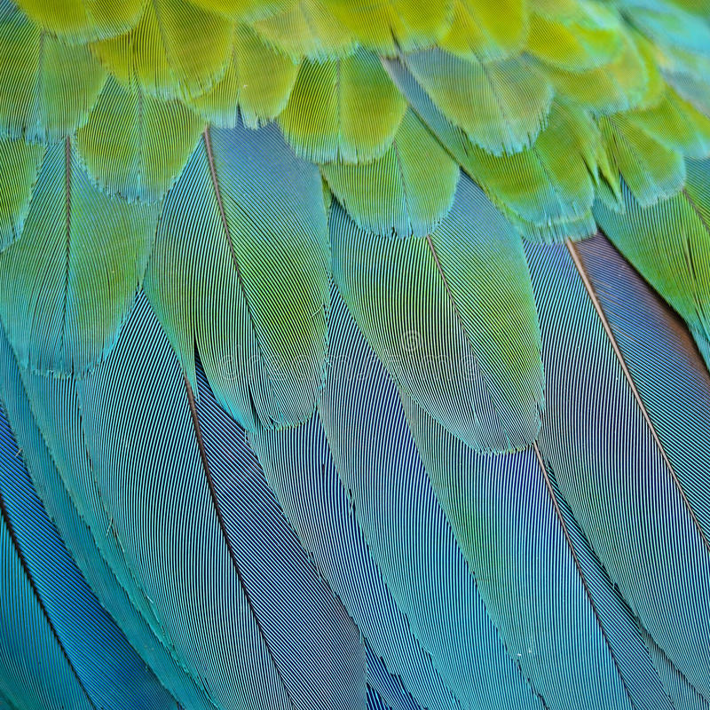 Harlequin Macaw feathers. Colorful feathers, Harlequin Macaw feathers background texture stock photos