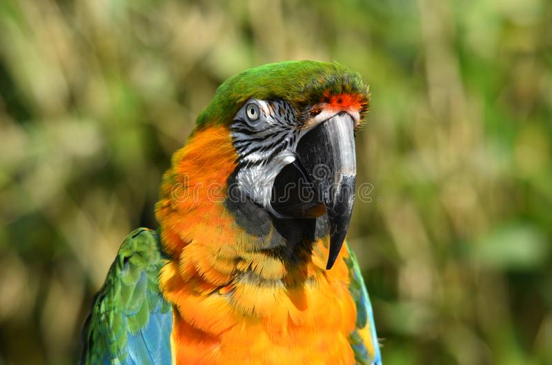 Harlequin Macaw Parrot Close Up. A close up photograph of a beautiful exotic Harlequin / Maui Sunset macaw parrot in natural surroundings royalty free stock photos