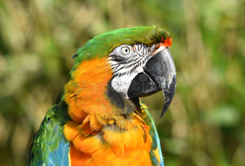 Harlequin Macaw Parrot Close Up. A close up photograph of a beautiful exotic Harlequin / Maui Sunset macaw parrot in natural surroundings stock photography
