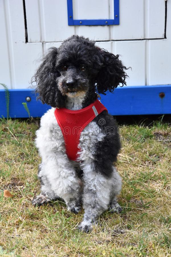 Harlequin poodle in front of a garden shed royalty free stock photography