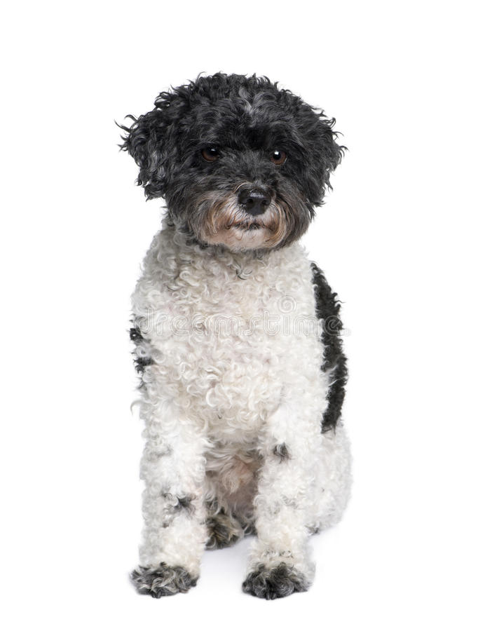 Harlequin poodle in front of white background royalty free stock photography