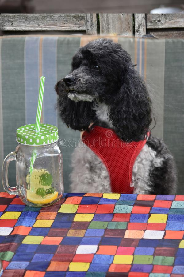 Hungry harlequin poodle in garden restaurant royalty free stock images