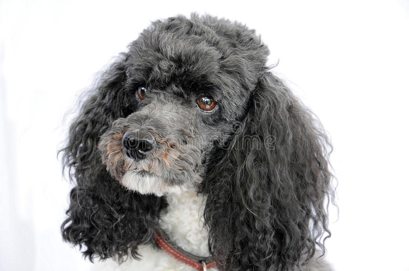 Harlequin poodle stock photos