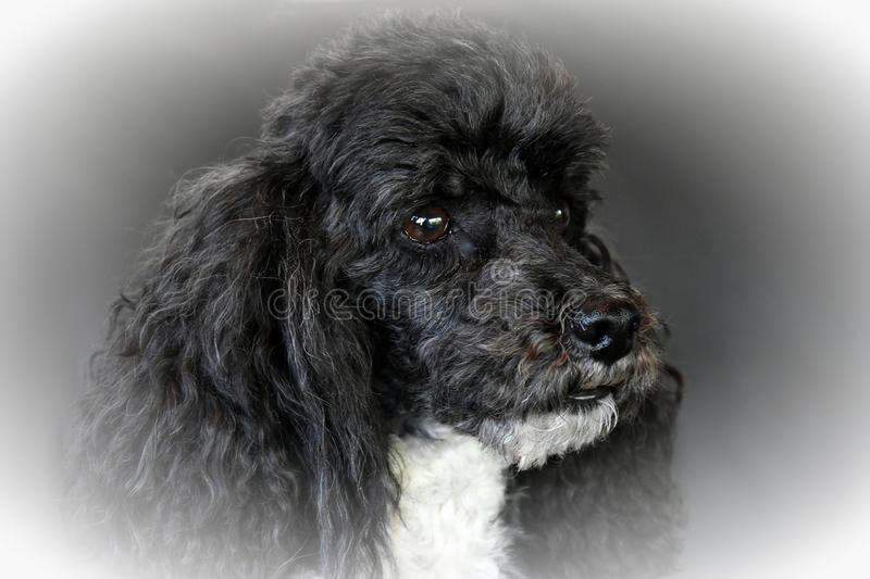 Harlequin poodle royalty free stock images