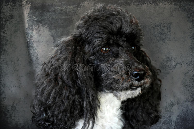 Harlequin poodle royalty free stock photography