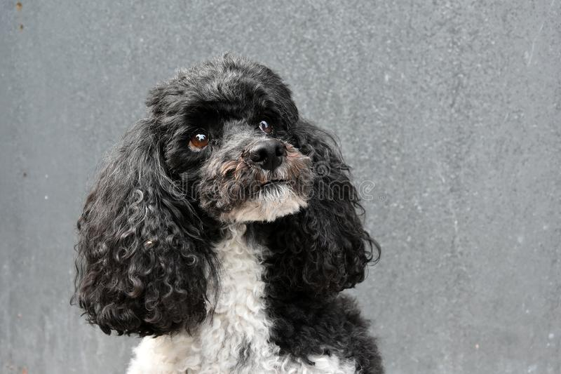 Harlequin poodle. Portrait of a sweet harlequin toy poodle royalty free stock photography