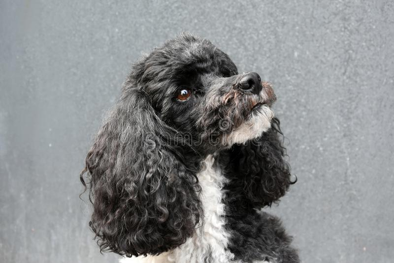 Harlequin poodle. Portrait of a sweet harlequin toy poodle royalty free stock image