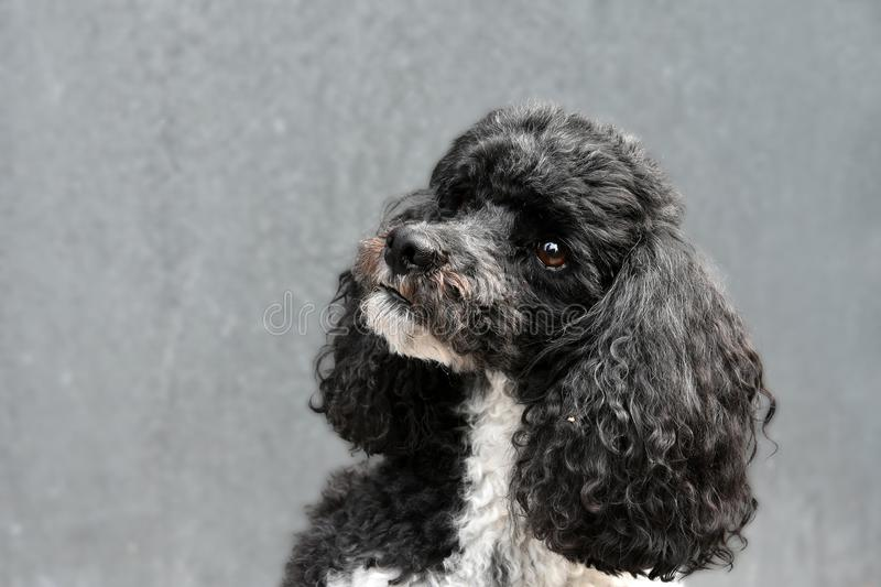 Harlequin poodle. Portrait of a sweet harlequin toy poodle stock photography
