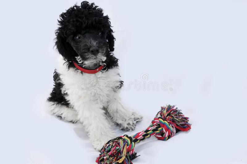 Harlequin poodle pup and his toy royalty free stock photos