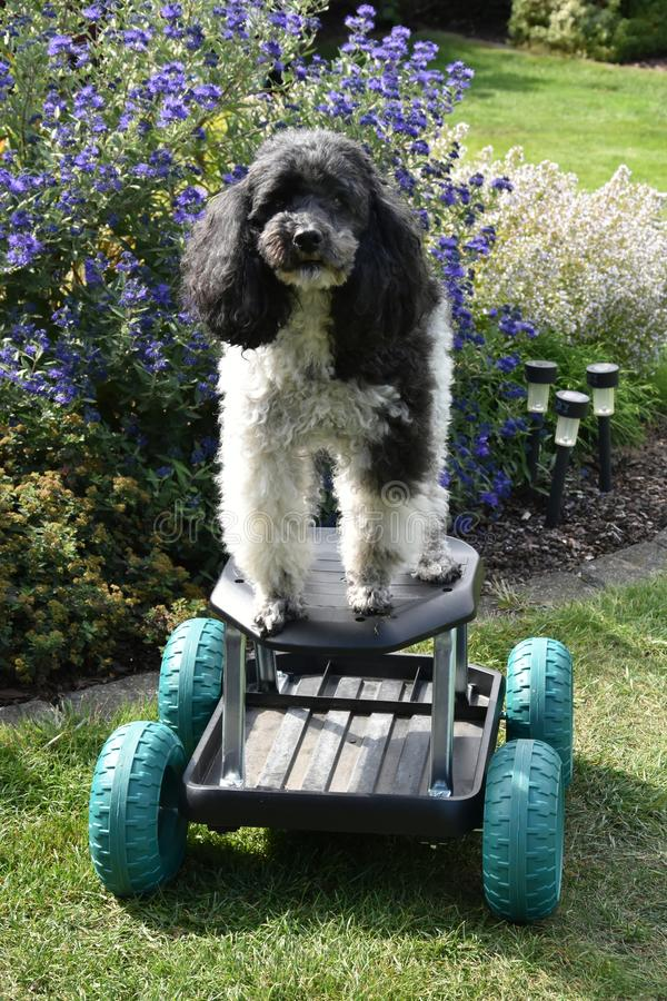 Harlequin poodle tries to ride on a rolling stool. Portrait of an eight years old harlequin poodle who tries to drive with a rolling stool through the garden. he stock images