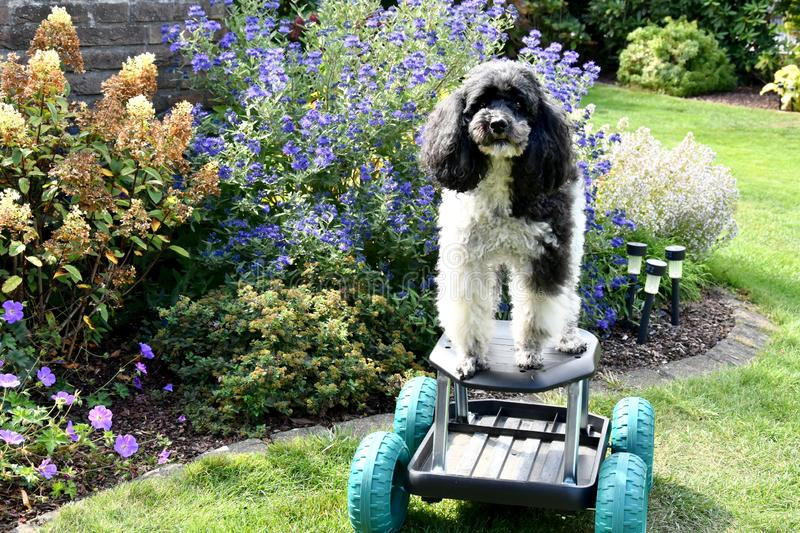 Harlequin poodle tries to ride on a rolling stool. Portrait of an eight years old harlequin poodle who tries to drive with a rolling stool through the garden. he royalty free stock image