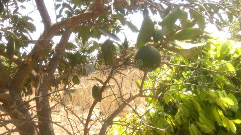 Harmattan apelsin, singel på träd arkivfoton