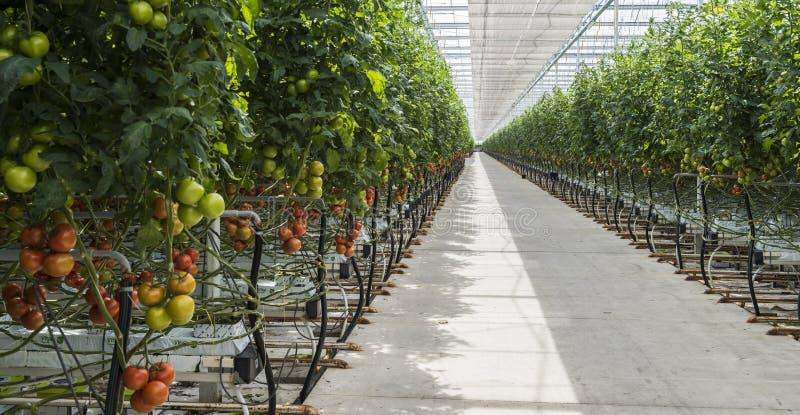 Large Greenhouse Tomato stock photo