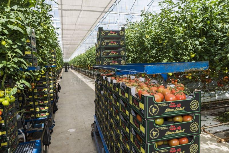 Greenhouse Tomato Harmelen. Harmelen, Netherlands - May 23, 2017: Large tomato greenhouse with ripe tomatoes and worker royalty free stock photos