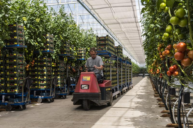 Worker in Tomato Greenhouse, Holland royalty free stock photos