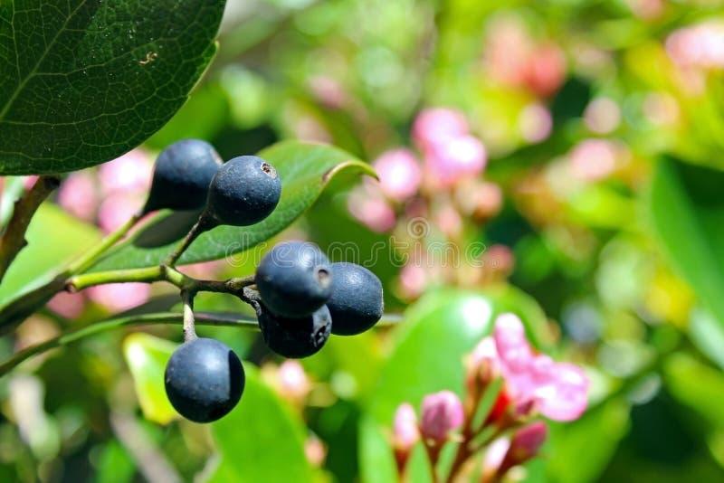 Harmonia Manzanita, kwiat, roślina obraz stock