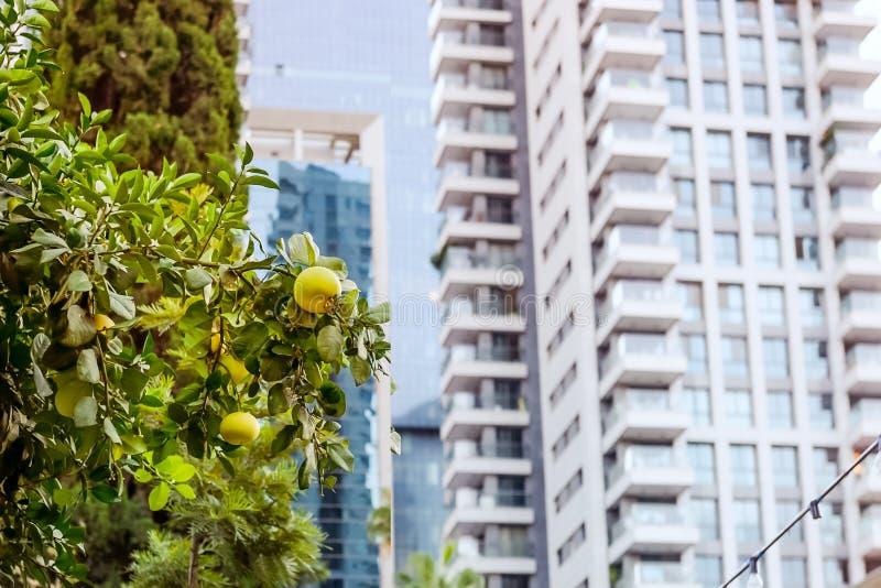 Harmonie der Natur und der modernen Stadtlandschaft Pampelmusenbaumfront von modernen Glaswohngebäuden in einem grünen Wohn sind stockfotografie