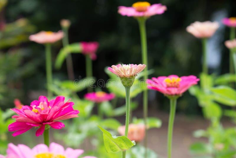 Harmonie van roze bloemen in de tuin royalty-vrije stock afbeelding