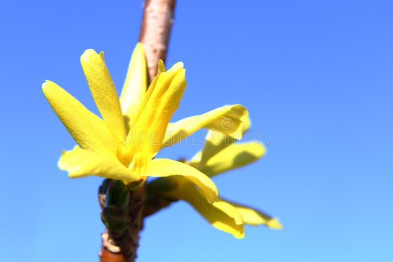 Harmonie von Frühlingsfarben: helle gelbe Forsythieblumen gegen einen blauen wolkenlosen Himmel stockfotografie